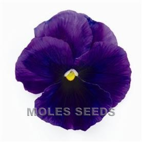 Pansy F1 Inspire Violet