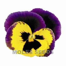 Pansy F1 Inspire Yellow Purple Wing