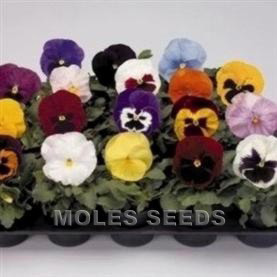 Pansy F1 Inspire Mixed