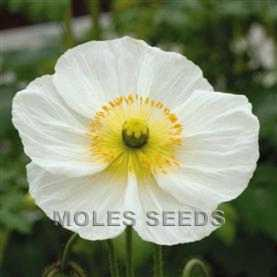 Papaver Champagne Bubbles White