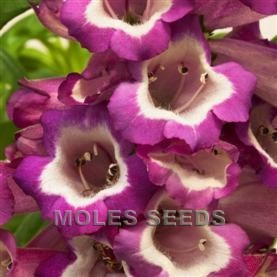Penstemon F1 Arabesque Violet