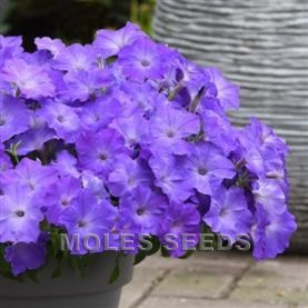 Petunia F1 Easy Wave Lavender Sky Blue