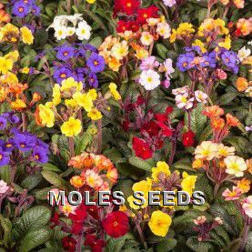 Polyanthus F1 Moondance Mixed