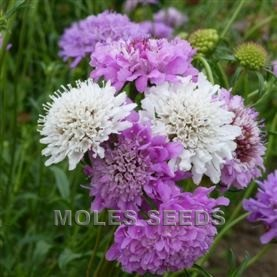 Scabiosa Dwarf Double Mixed