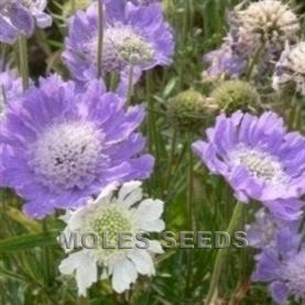 Scabiosa caucasica Isaac House Hybrids