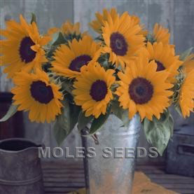 Sunflower F1 Sunrich Orange Summer