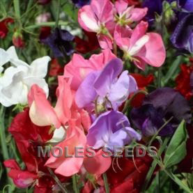 Sweet Pea Giant Spencer Waved Mixed (Blended Mixture)