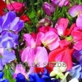 Sweet Pea Mammoth Mixed