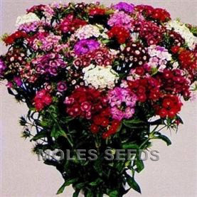 Sweet William F1 Hollandia Mixed