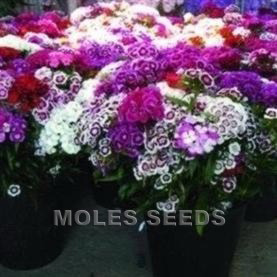 Sweet William Special Mixed