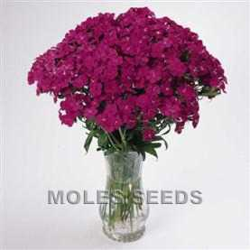 Sweet William Amazon Neon Purple