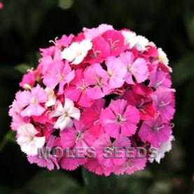 Sweet William Amazon Rose Magic