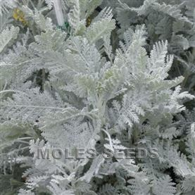 Tanacetum Silver Lace