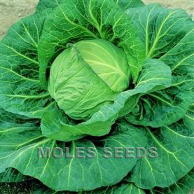 Cabbage F1 Spring Hero