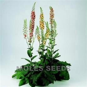 Verbascum Southern Charm (pellets)
