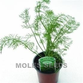 Herb Fennel Common
