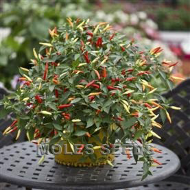 Hot Pepper F1 Basket of Fire