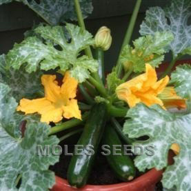 Courgette F1 Midnight