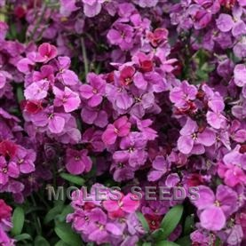 Wallflower F1 Sugar Rush Purple Bicolour