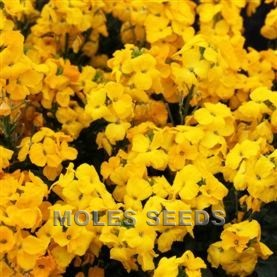 Wallflower F1 Sugar Rush Yellow