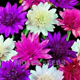 Xeranthemum lumina Double Mixed