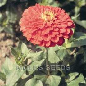 Zinnia Benary's Giant Coral