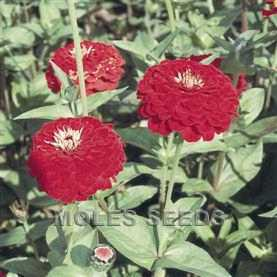 Zinnia Benary's Giant Deep Red