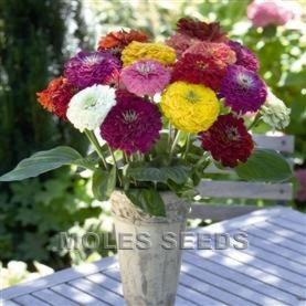 Zinnia Benary's Giant Mixed