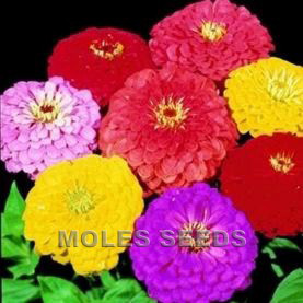 Zinnia Giant Dahlia Flowered Mixed